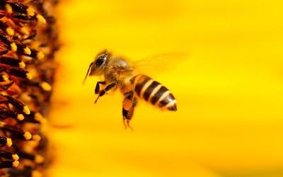 Disebut Dalam Al – Quran, Rahasia Kecerdasan Lebah Madu Mengejutkan Banyak Ilmuwan